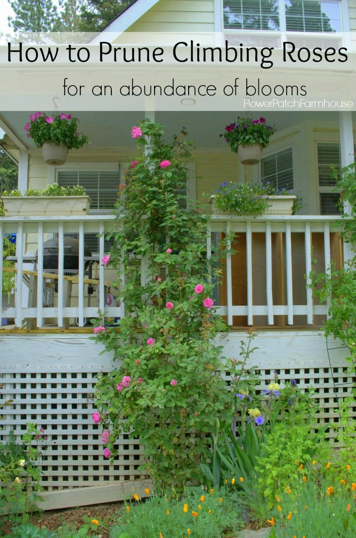 Prune Climbing Roses, FlowerPatchFarmhouse.com