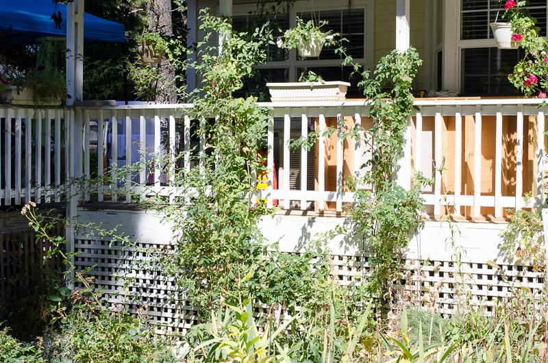 Prune Climbing roses, FlowerPatchFarmhouse.com .com (3 of 13)