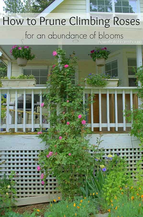 Pruning Climbing Roses for optimum bloom by a rebel gardener!  I found most rose pruning methods are not always correct in my climate and type of roses! So come see how I get tons of roses on my climbers every year.  #pruningroses #easygardening