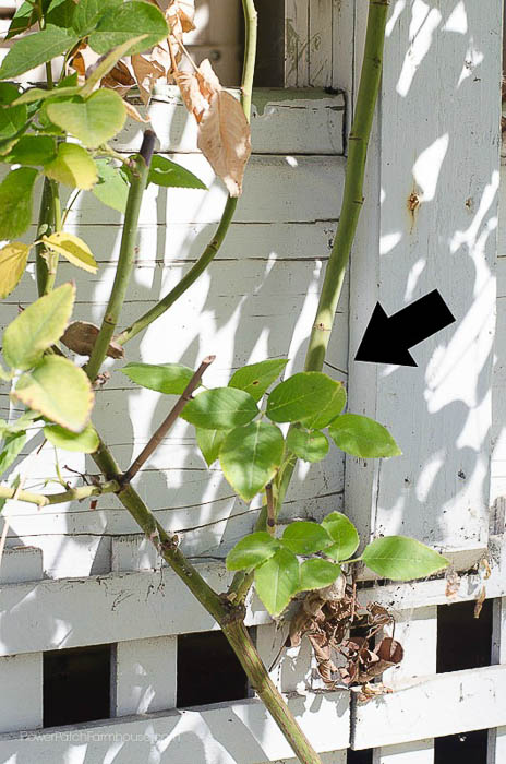 Lateral cane, Zepherine climbing rose in Fall, How to Prune Climbing Roses for optimum bloom