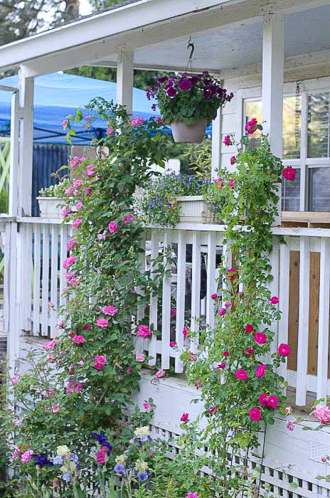 Zepherine Drouhin and William Baffin climbing rose in Fall, How to Prune Climbing Roses for optimum bloom
