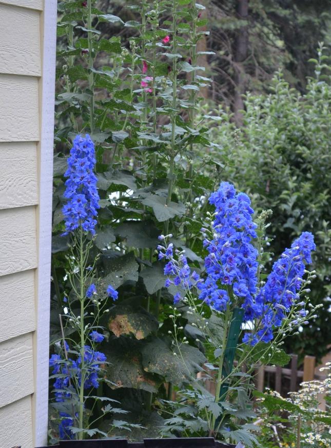 Delphineums, FlowerPatchFarmhouse.com