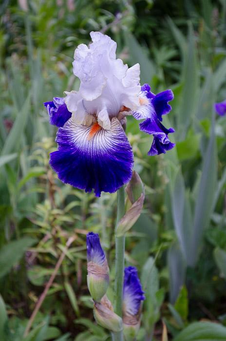 Prince George iris, FlowerPatchFarmhouse.com