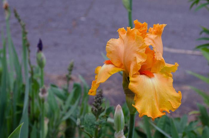 orange iris, FlowerPatchFarmhouse.com