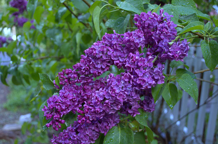 Purple lilac flower, How to plant, grow lilacs