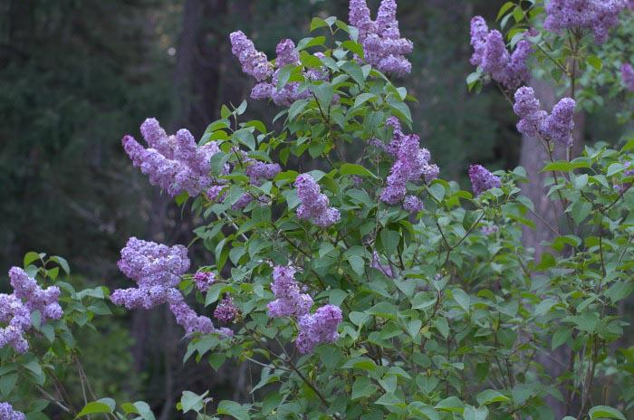 heirloom lavender lilac bush in full bloom, Flower Patch Farmhouse