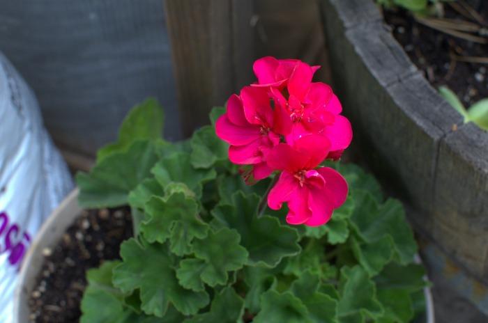 Rosy Geranium