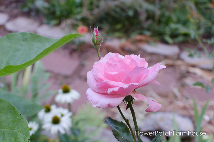 Garden Tour Aug 2, 2015, FlowerPatchFarmhouse.com (11 of 40)
