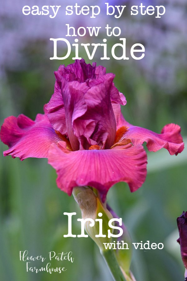 Iris with wording, How to Divide Iris step by step