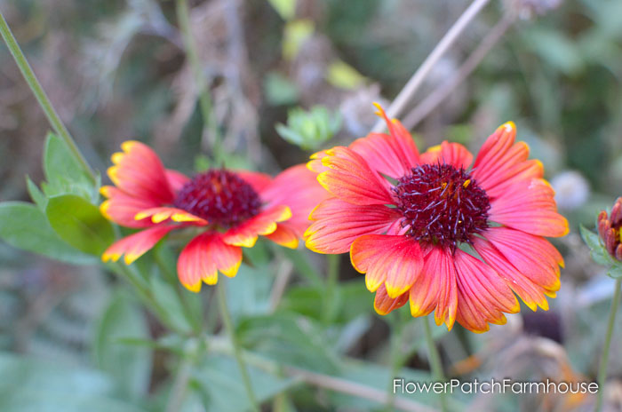 September 19 garden walk, FlowerPatchFarmhouse.com-0012