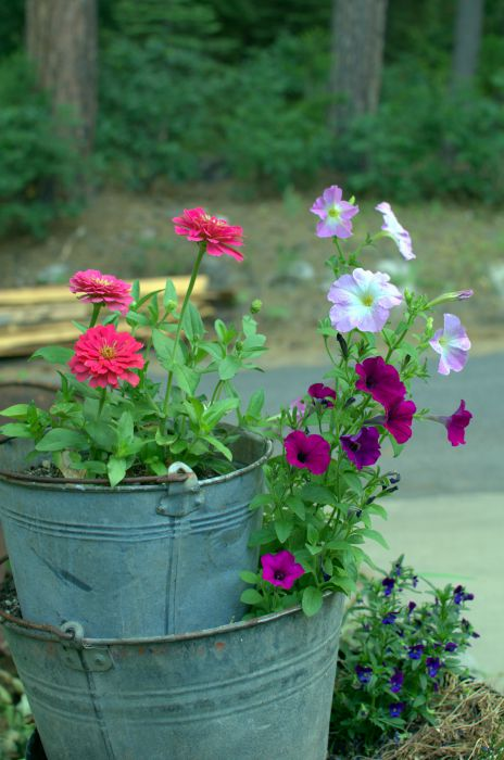 buckets of zinnia 7