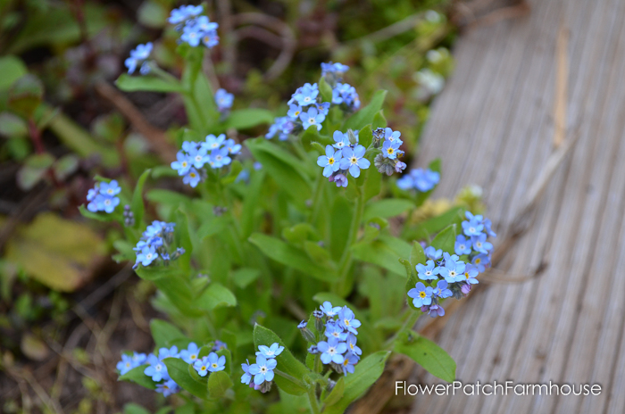 Sow your seeds in Fall. Baby Blue Eyes forget me not, FlowerPatchFarmhouse.com (1 of 1)