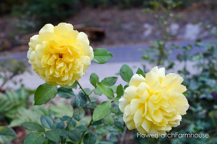 Graham Thomas rose, FlowerPatchFarmhouse.com