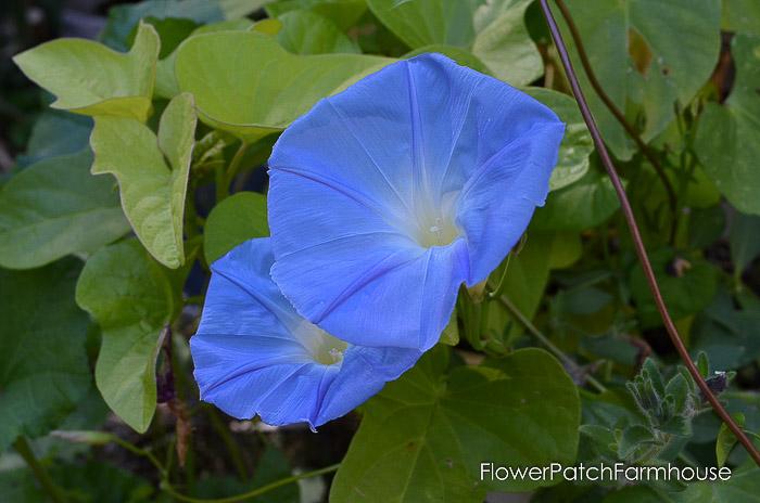 Heavenly Blue Morning Glory