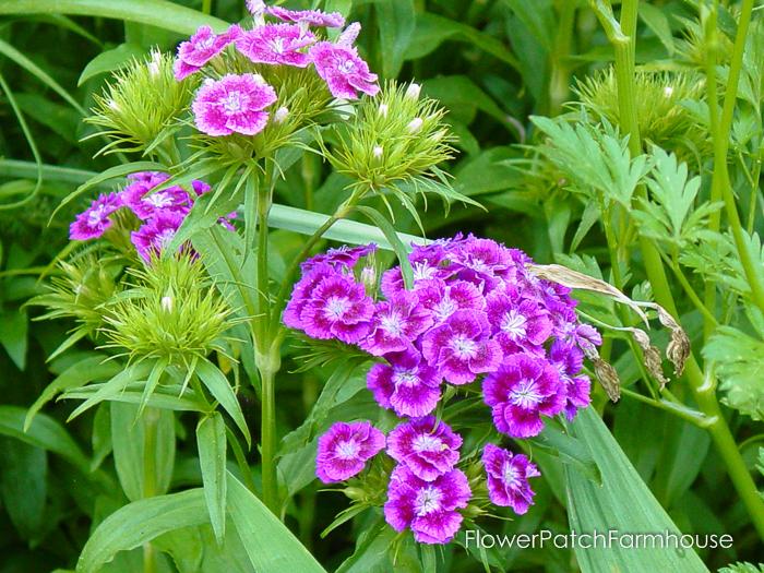 How to Grow Sweet Williams, FlowerPatchFarmhouse.com (1 of 8)