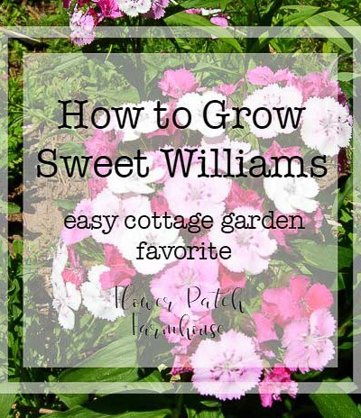 How to Grow Sweet Williams