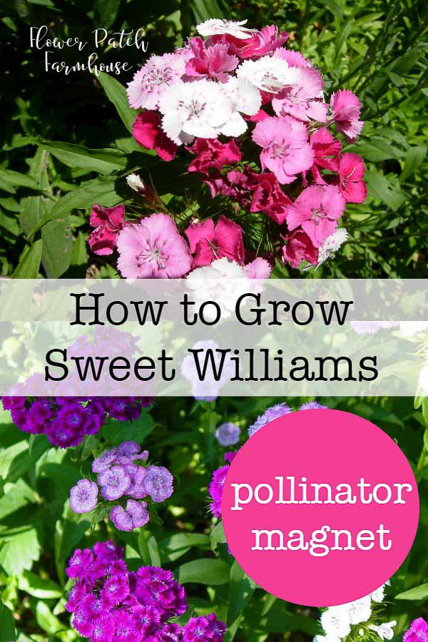 How to Grow Sweet Williams. Start from cuttings, root divisions or seeds. These tough but sweet smelling flowers will fill in wherever you need it to in your garden. #cottagegarden #pollinatorfriendly #scentedflowers #easyflowers