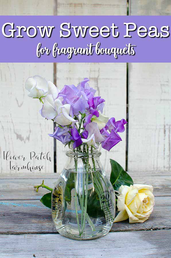 How to Grow Gorgeous Sweet Peas all Summer long. Great for cutting. Hand picked bouquets from your cottage garden must include Sweet Peas! #sweetpeas #cottagegarden #gardenideas #fragrantflowers #smallgardenideas