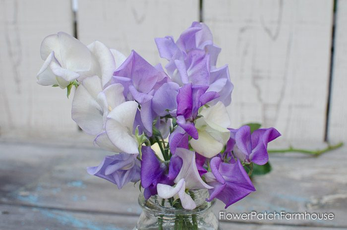 How to grow stunning sweet peas, sow seeds for a sweet scented addition to your cottage garden, FlowerPatchFarmhouse.com