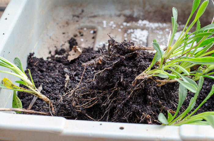 Propagate plants with root divisions. An easy way to get more of your favorite perennials for free