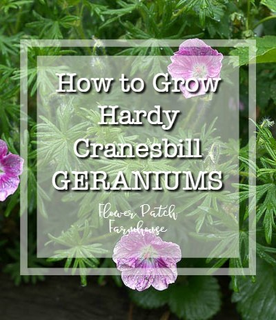 Cranesbill geranium with text overlay, How to Grow hardy cranesbill geraniums, Flower patch Farmhouse