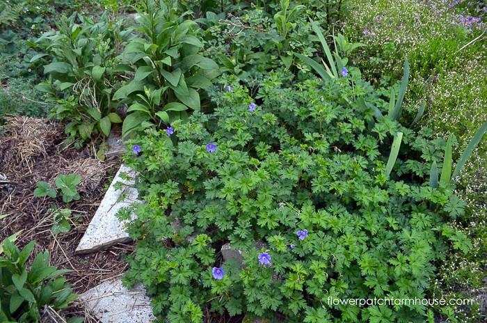 Johnson's Blue Cranesbill Geranium, How to Grow Hardy Geraniums, FlowerPatchFarmhouse.com (1 of 12)