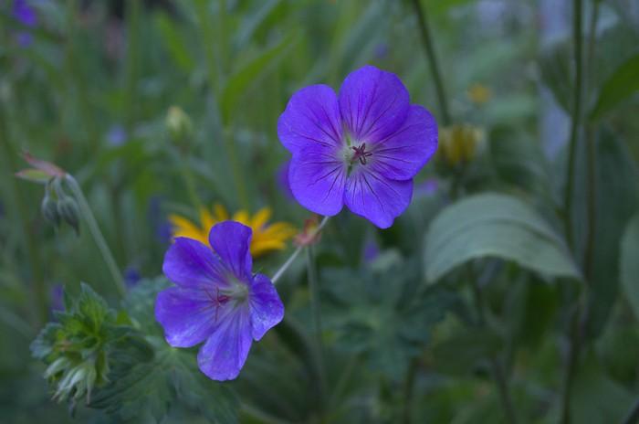 Rozanne Cranesbill Geranium, How to Grow Hardy Geraniums, FlowerPatchFarmhouse.com (11 of 12)