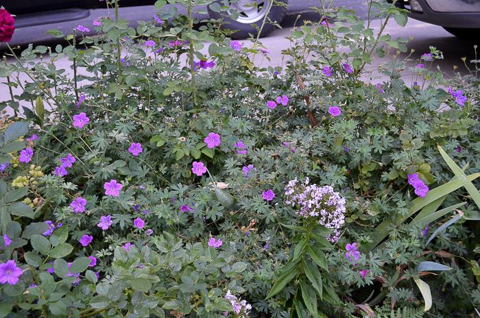How to Grow Hardy Geraniums, FlowerPatchFarmhouse.com (3 of 12)
