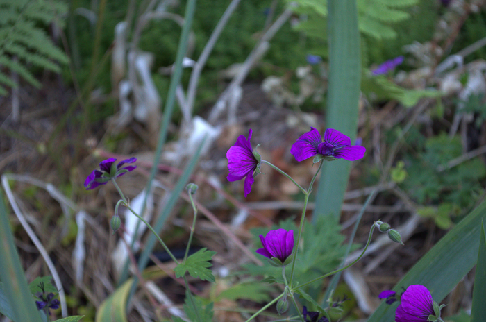 Dragons Heart Cranesbill Geranium, How to Grow Hardy Geraniums, FlowerPatchFarmhouse.com (9 of 12)