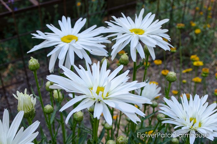 Easy to Grow Shasta Daisy, all shapes and sizes, easily propagated! FlowerPatchFarmhouse.com