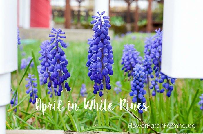 April in White Pines April 2016, FlowerPatchFarmhouse.com
