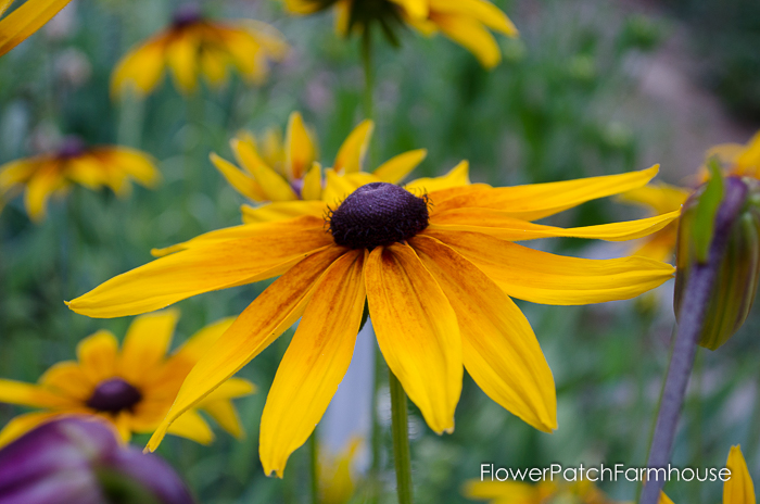 How to Grow Black Eyed Susans in your Cottage Garden, also known as Rudbeckia, easy and fast spreading for a wow of bright color! FlowerPatchFarmhouse.com
