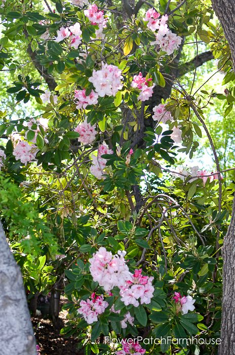 Rhododendron at Ironstone