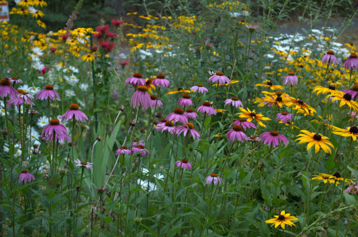 How to Grow Purple Coneflower aka Echinacea
