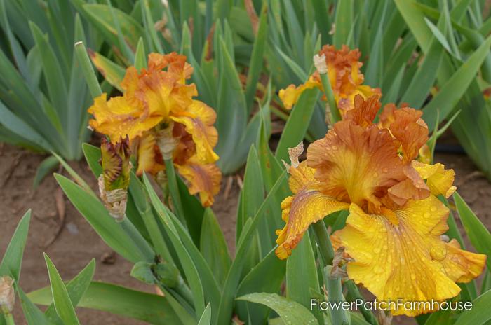 Spice Trader, Superstition Iris Gardens