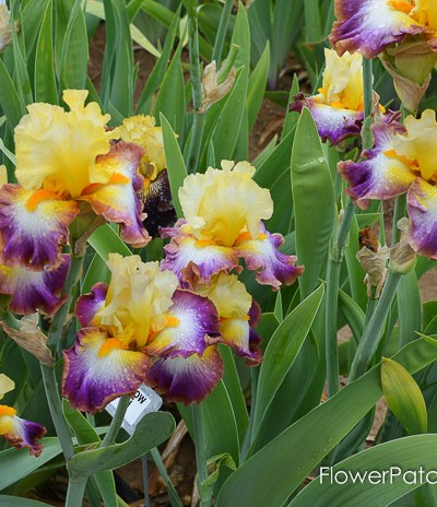 Rainbow High, Superstition Iris Gardens