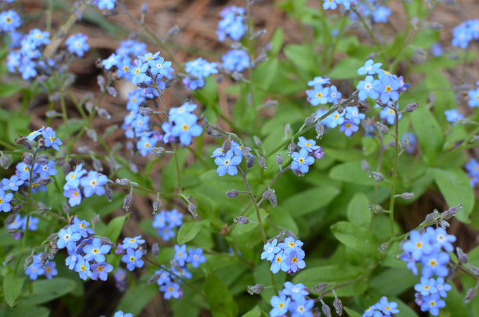 Baby Blue Eyes Forget Me Nots