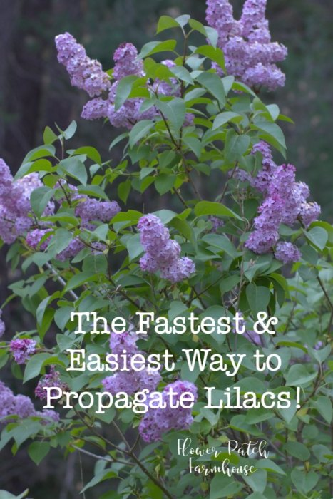 Lilacs how to propagate from suckers