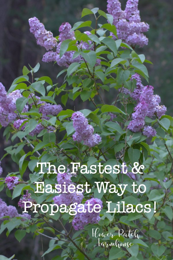 Propagate Lilacs fast and easy for swift bloom and more of what you love.  #lilacs #plantpropagation #gardening