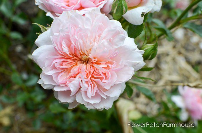 Anne Boleyn David Austin Rose, mid June in the Garden