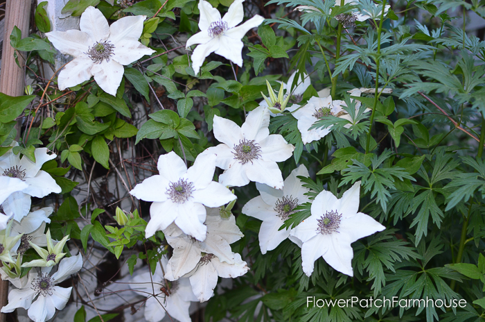 Pistachio Clematis, How to Grow Clematis for a garden of color all summer long