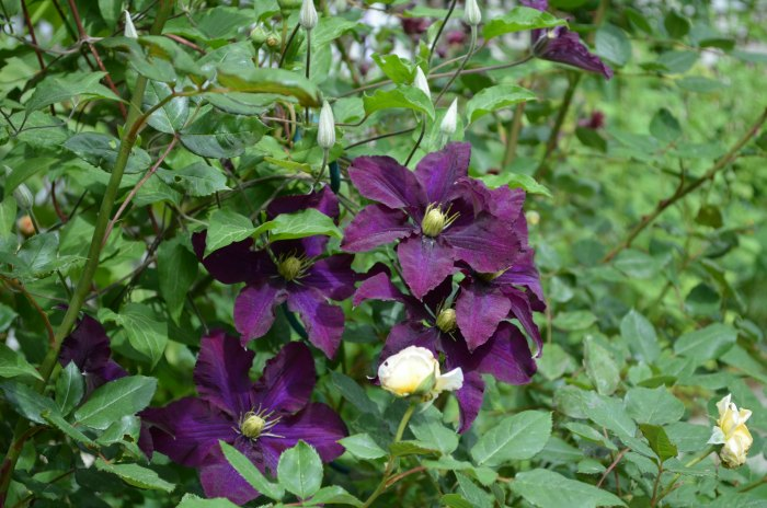 Warsaw Nike Clematis, propagate clematis by layering. An easy fun way to get more clematis that you love