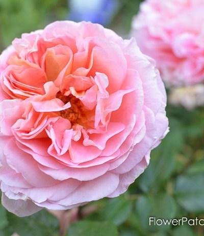 Prune & Train Your Climbing Rose