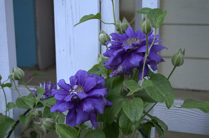 Franziska clematis, How to Grow Clematis for optimum and long lasting blooms