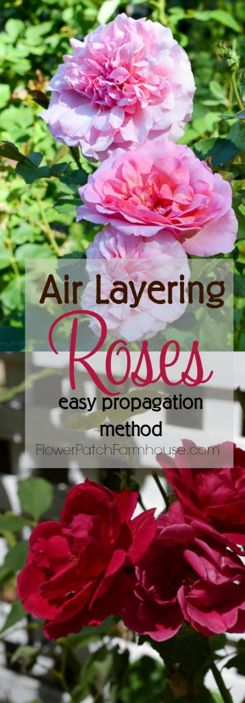 A fast and easy way to root roses, air layering. You get larger roses faster than you do with cuttings. So fun and easier than you would imagine, you will wonder why you didn't try this before! More roses for FREE. FlowerPatchFarmhouse.com