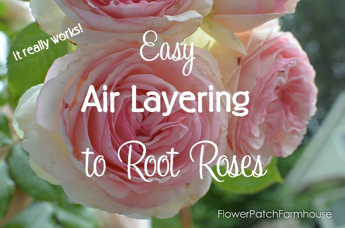 A fast and easy way to root roses. Air Layering to Root Roses you will get larger roses faster than you do with cuttings. Fun and easier than you would imagine. Come join me in some propagating fun! FlowerPatchFarmhouse.com