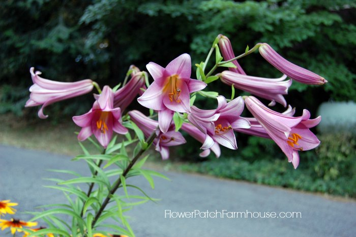 planting for scent, trumpet lily
