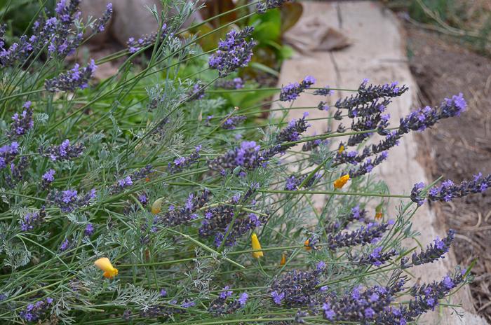 ate Summer Garden 2016, Lavender