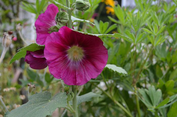 july 31 garden 2016 (20 of 29)