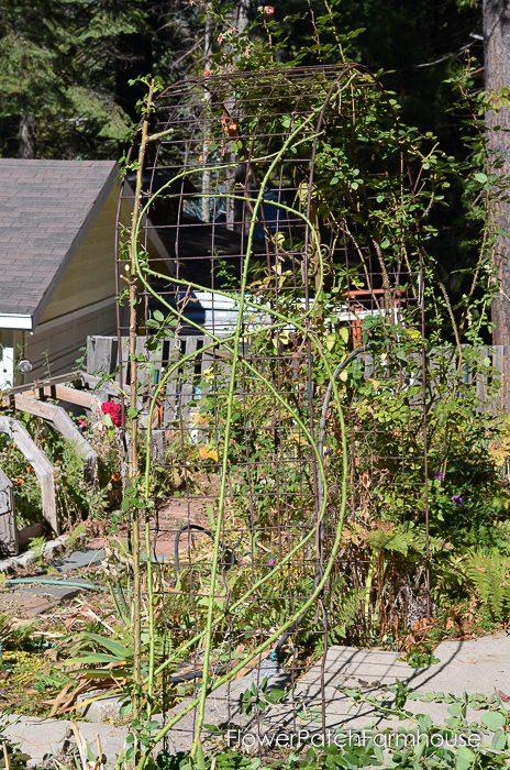 pruning-my-eden-climbing-rose-19-of-21